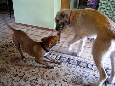 wolfhound vs pit bull tug of war - YouTube