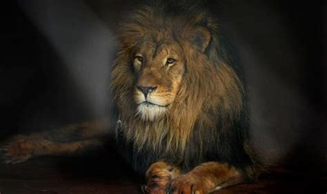 Animal cruelty: Majestic male Simba is free at last after